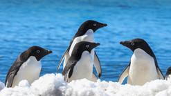 ADELIE PENGUINS (Antarctica)