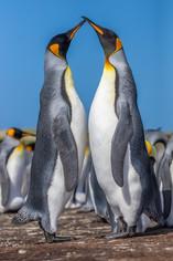 KING PENGUINS (The Falkland Islands)