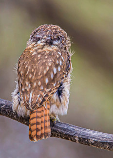 PERUVIAN PYGMY OWL - back of head (Peru)