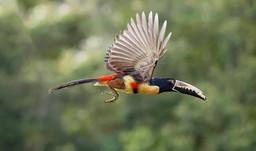 COLLARED ARACARI (Costa Rica)