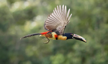 COLLARED ARACARI (Costa Rica)