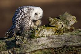 SNOWY OWL (British Colombia, Canada)
