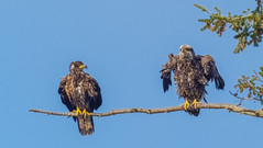 JUVENILLE BALD EAGLES (Lopez Isalnd, WA)