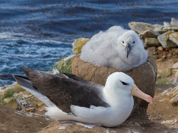 BLACK-BROWED ALBATROSS WITH CHICK (The Falkland Islands)