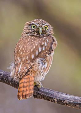 PERUVIAN PYGMY OWL - front of head (Peru)
