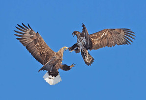 WHITE-TAILED SEA-EAGLES (Japan)