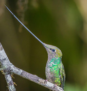 2.5 SWORD-BILLED HUMMINGBIRD (Ecuador)