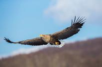WHITE-TAILED SEA-EAGLE (Japan)