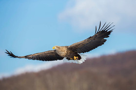 WHITE-TAILED SEA-EAGLE (Japan)