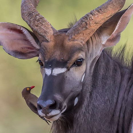 RED-BILLED OXPECKER ON KUDU (South Africa)
