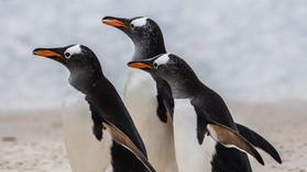 GENTOO PENGUINS (The Falkland Islands)