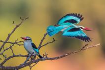 WOODLAND KINGFISHERS (Kruger National Park, South Africa)