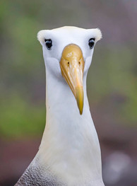 WAVED ALBATROSS (The Galapagos Islands)
