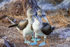 BLUE-FOOTED BOOBIES (The Galapagos Islands)
