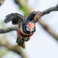 FIERY-BILLED ARACARI (Costa Rica)