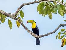 KEEL-BILLED TOUCAN (Costa Rica)
