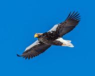 STELLER'S SEA EAGLE (Japan)