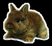 enano holandes ardilla conejos peru 9280