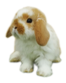 conejos minilop moteado conejosperu.com