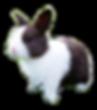 enano holandes dutch conejos peru 928084