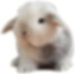 Minilop magpie conejosperu.com 928084697