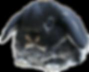 minilop black otter conejos peru.png