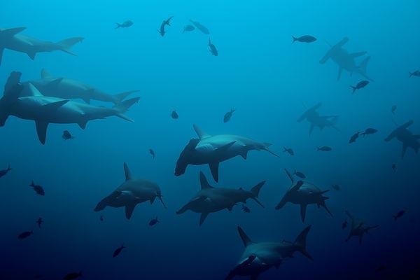 Large school of hammerhead sharks in the