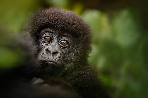 Wild mountain gorilla in the nature habi