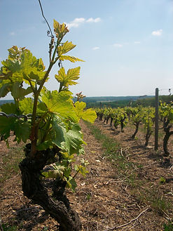 Vigne Vouvray Cosme Thierry