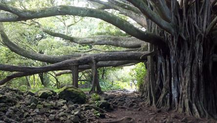 banyan-tree-514590.jpg
