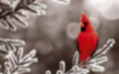 Cardinal in the snow.jpg