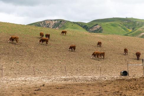 Calves Wagon Feeder