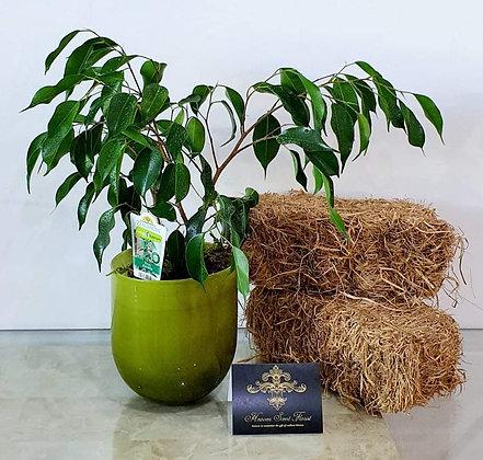 Evergreen Ficus