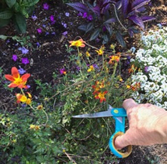 You can get an extra bloom out of your annuals by deadheading spent flowers in August.jpeg