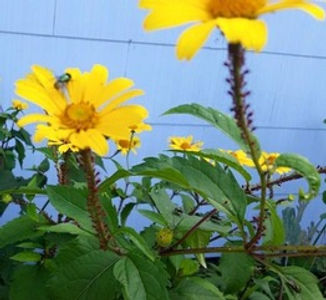 Thesse red aphids on Heliopsis can be cleared by hand.jpeg