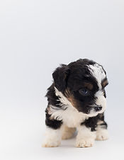 adorable-animal-bernedoodle-1458913_edit