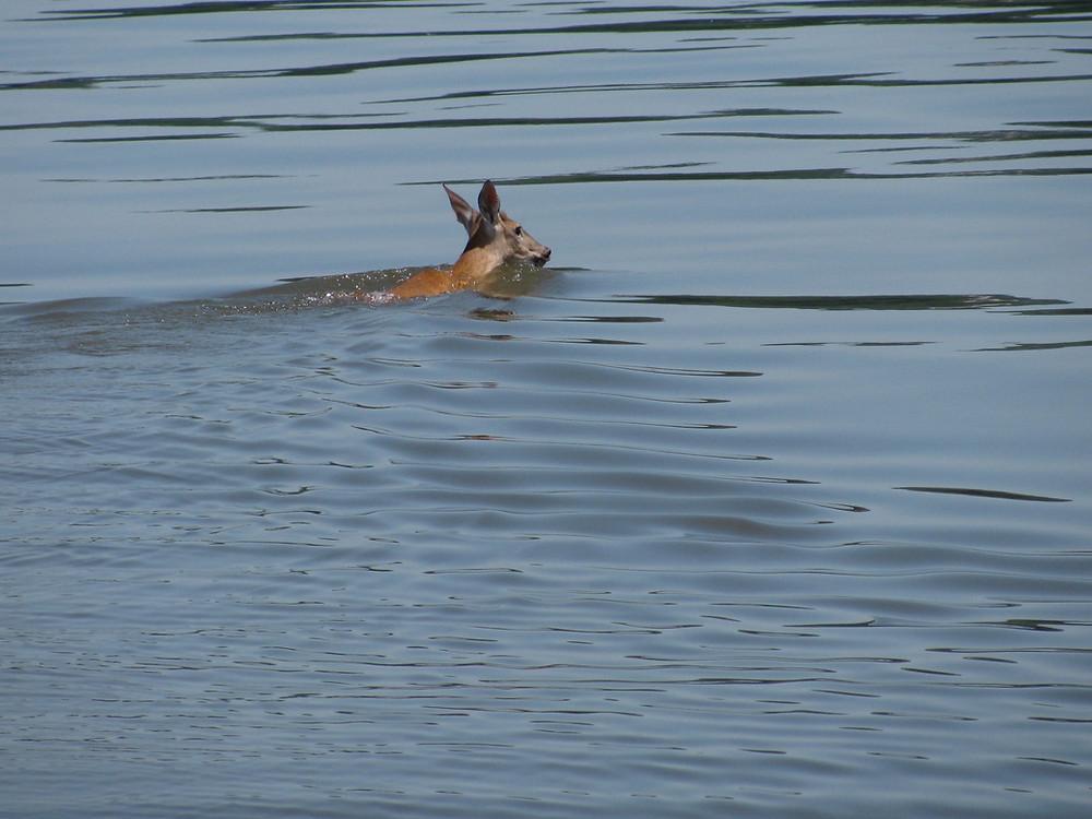 swimming deer in hudson river