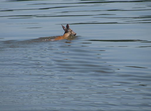 swimming deer & the poetry of the moment