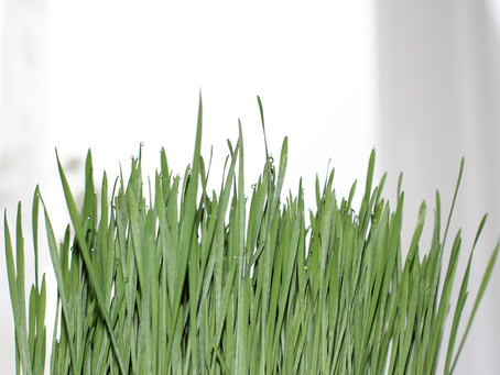 What is all the fuss about wheatgrass and barleygrass??