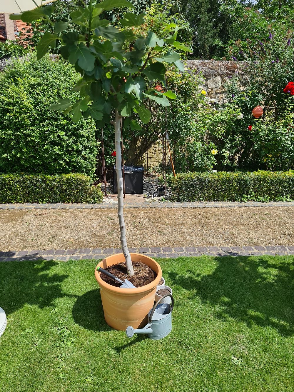 Feigenbaum pflanzen während der Trauung