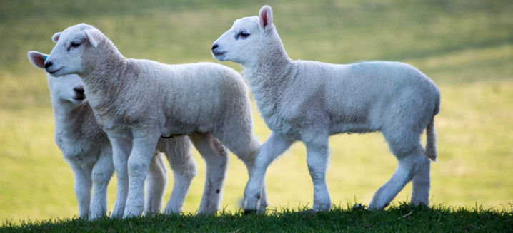 Gower Salt Marsh Lamb becomes first new food to receive protected status under UK scheme
