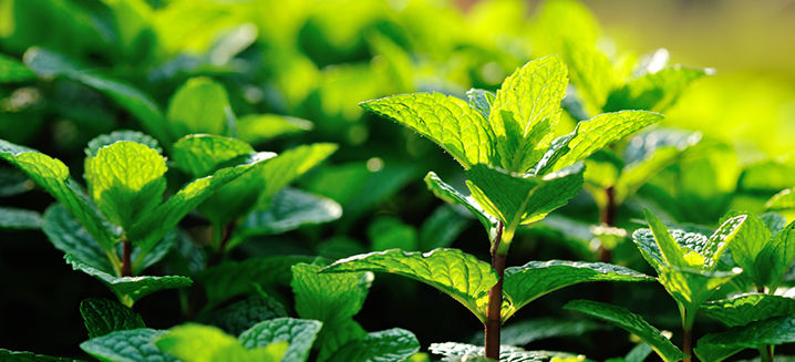 Cultivation of new mint crops could boos