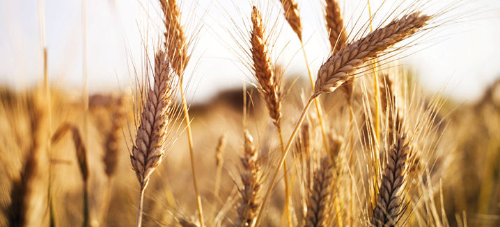 Scientists develop climate-ready wheat t