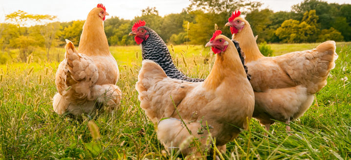 Global Coalition for Animal Welfare launches consultation on procurement of cage-free processed egg ingredients