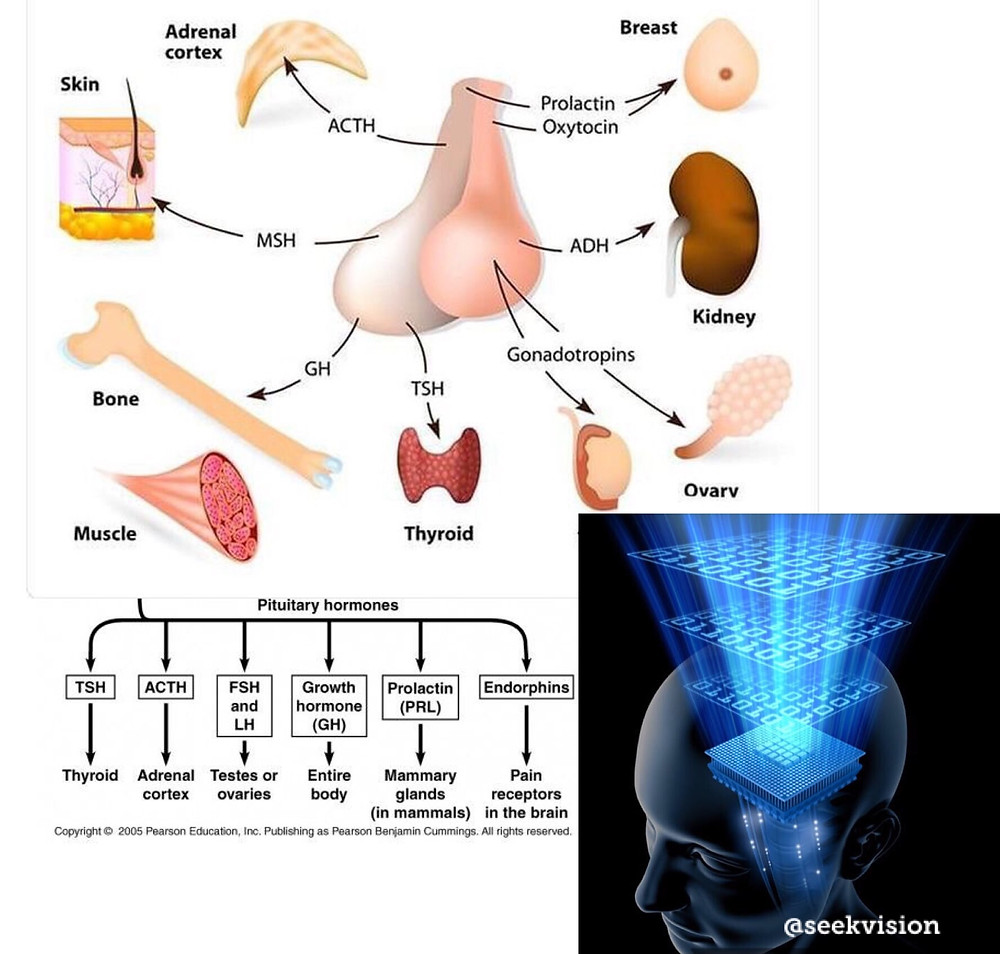 pituitary collage hormones connection