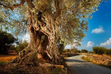 oliveres-lajana.jpg