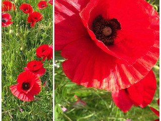 Poppies for REMEMBERING