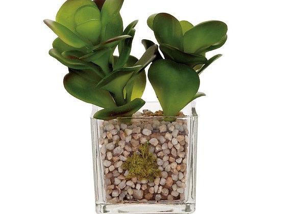 Echeveria Jade