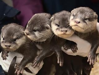 Otter Quadruplets Born
