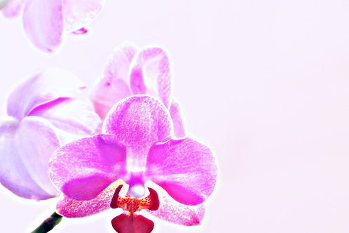 ORCHIDS:RASPBERRY